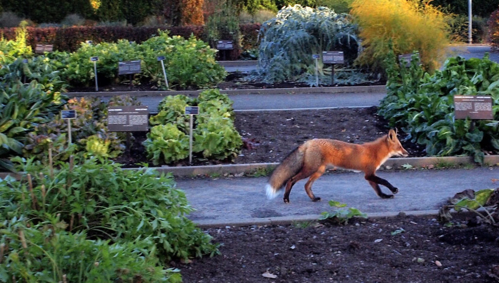 Foxes are a natural host for lungworm