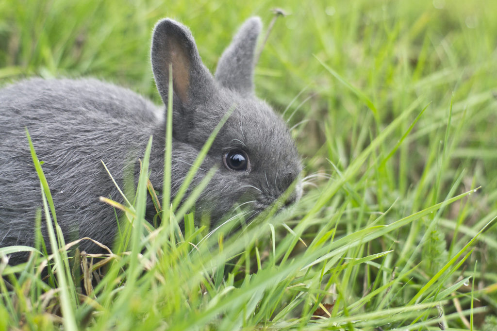 Pet rabbit enjoying some grass. Read more to find out 10 things you should consider before getting a pet rabbit.