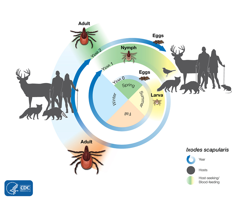 Lifecycle of a tick