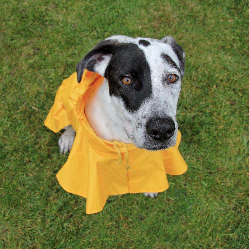 Dog in Sandwich wearing yellow coat